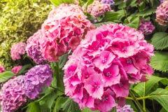 霍滕西亚美丽的桃红色花的特写镜头视图在庭院里 库存图片