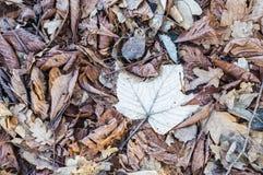 霜包括的干燥叶子 库存图片