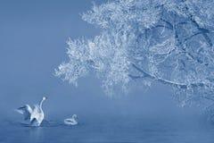 霜和天鹅 免版税库存照片