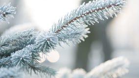 结霜的冷杉在冬日分支,仍然 股票录像