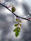 结霜的叶子野玫瑰果 库存照片