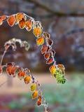 结霜的枝杈叶子 库存图片