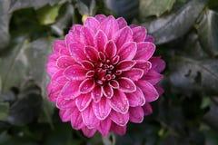 结霜的桃红色大丽花 库存照片
