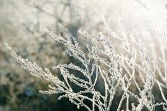 结霜的植物 图库摄影