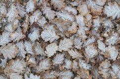 结霜的橡木叶子 免版税库存图片