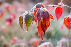 结霜的秋天黑莓叶子 库存照片