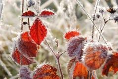 结霜的红色叶子在秋天 免版税库存照片