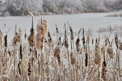 去结霜的香蒲播种在冬时 免版税库存图片