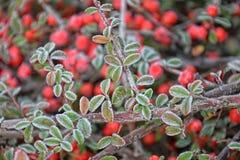 结霜的绿色小叶子 免版税库存照片