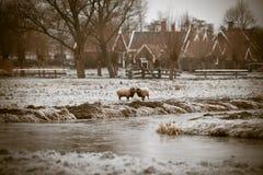 霜草有角的公羊二冬天 库存照片