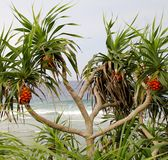 露兜树在海滩的Screwpine树 免版税库存图片