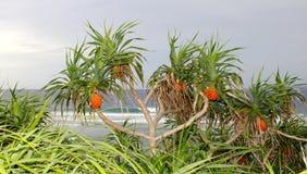 露兜树在海滩的Screwpine树 免版税库存照片