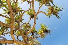 露兜树棕榈树 库存图片