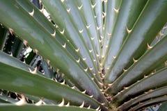 露兜树odoratissimus或荣兰棘手的绿色植物 图库摄影