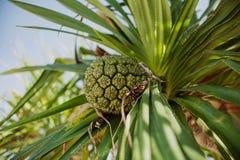 露兜树tectorius -植物相似与菠萝 免版税库存图片
