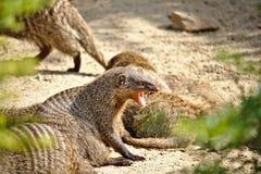 露出它的犬齿的被结合的猫鼬 免版税库存图片