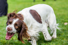 露出牙的猎犬 免版税库存图片