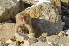 露出牙的野生雪猴子 免版税库存照片