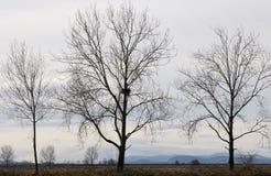 露出老鹰嵌套结构树 免版税库存照片