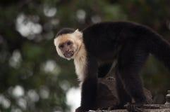 露出他的牙,奥梅特佩岛,尼加拉瓜的面无血色的连斗帽女大衣猴子 免版税库存照片