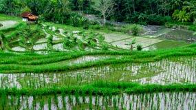 露台的米领域,非常美好 免版税库存照片