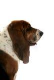 露头棕色耳朵题头猎犬长的配置文件s 库存图片