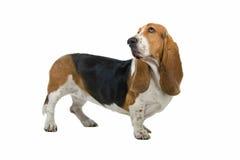 露头英语猎犬 免版税库存照片