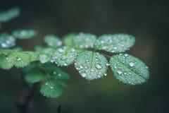 露水一些下落的宏观图片在植物的在肾上腺皮质激素D ` Ampez 免版税图库摄影