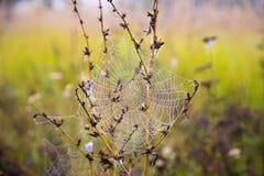露水下落在一个蜘蛛网的作为背景 免版税库存图片