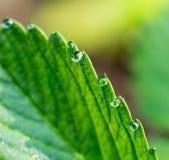 露水下落在绿色叶子草莓的 宏指令 免版税库存照片