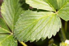 露水下落在绿色叶子草莓的 宏指令 免版税库存图片