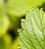 露水下落在绿色叶子草莓的 宏指令 免版税图库摄影