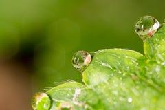 露水下落在绿色叶子草莓的 宏指令 库存照片