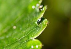 露水下落在绿色叶子草莓的 宏指令 图库摄影