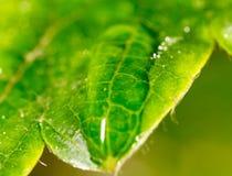 露水下落在绿色叶子草莓的 宏指令 库存图片