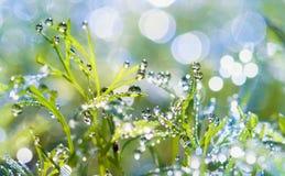 露水下落在草的 从露水的太阳强光 免版税库存照片