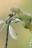露水包括的蜻蜓从草seedhead停止。 库存图片