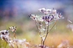 露水和网在干燥植物上 图库摄影