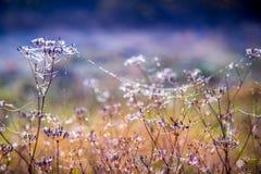 露水和网,狂放的瑞克希阿属植物 库存图片