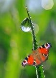 露水和蝴蝶 图库摄影