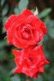露水早晨红色玫瑰 库存图片