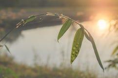 露水桄榔阳光领域在晚上 免版税库存图片