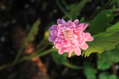 露水盖了桃红色Strawflower Xerochrysum bracteatum 免版税图库摄影