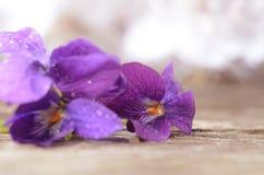 露水盖的森林紫罗兰类 第一朵春天花shooted特写镜头 美好的抽象春天花卉背景 免版税库存照片