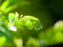 露水绿色叶子早晨 库存照片