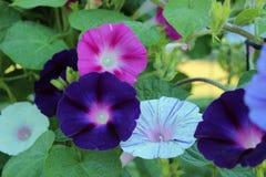 露水被概述的深紫色的牵牛花花 库存照片