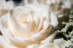露水被留下的玫瑰唯一白色 免版税库存图片