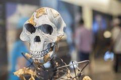 露西骨骼 免版税库存照片