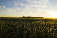 露水下落在草的在朝阳的光芒 免版税图库摄影