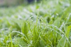 露水下落在草的 免版税库存照片